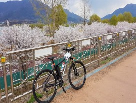 South Korea Cheery Cherry Blossom Ride