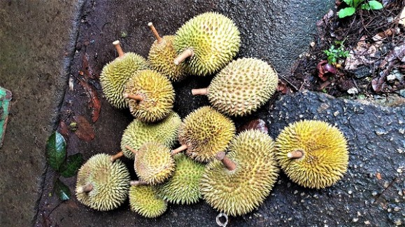 Review of Durians from the Golden Trio